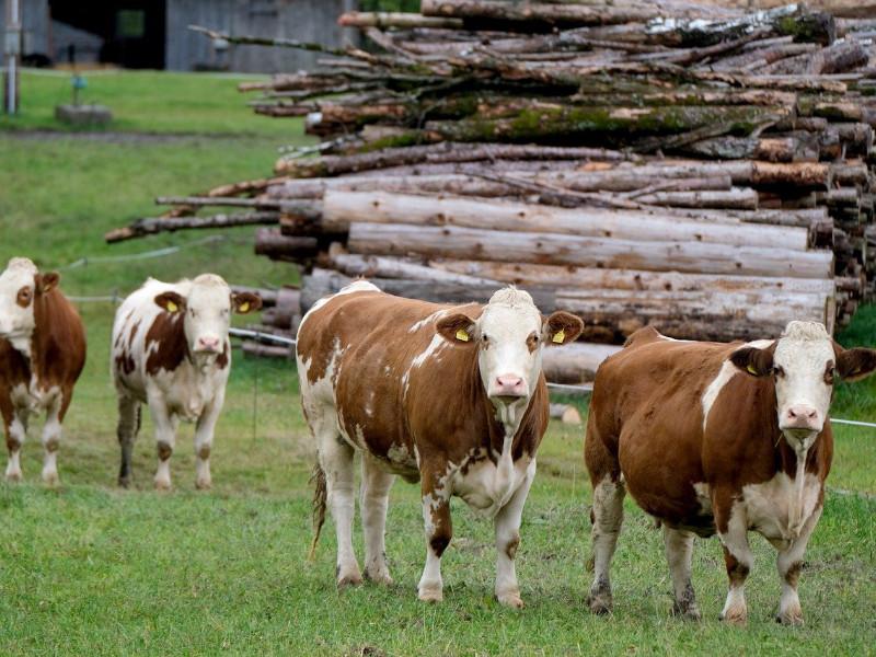 OCH Blog ¿Cómo se miden bajo NIIF los activos relacionados con ganadería?